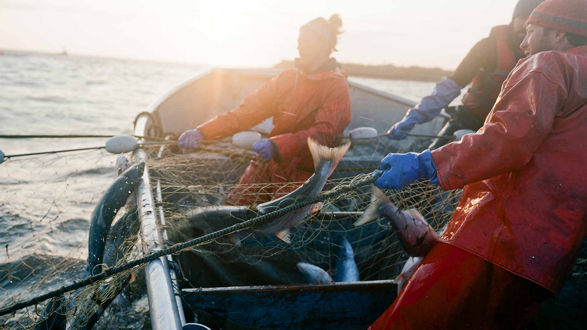 several fishermen haul a net containing large salmon into a small boat