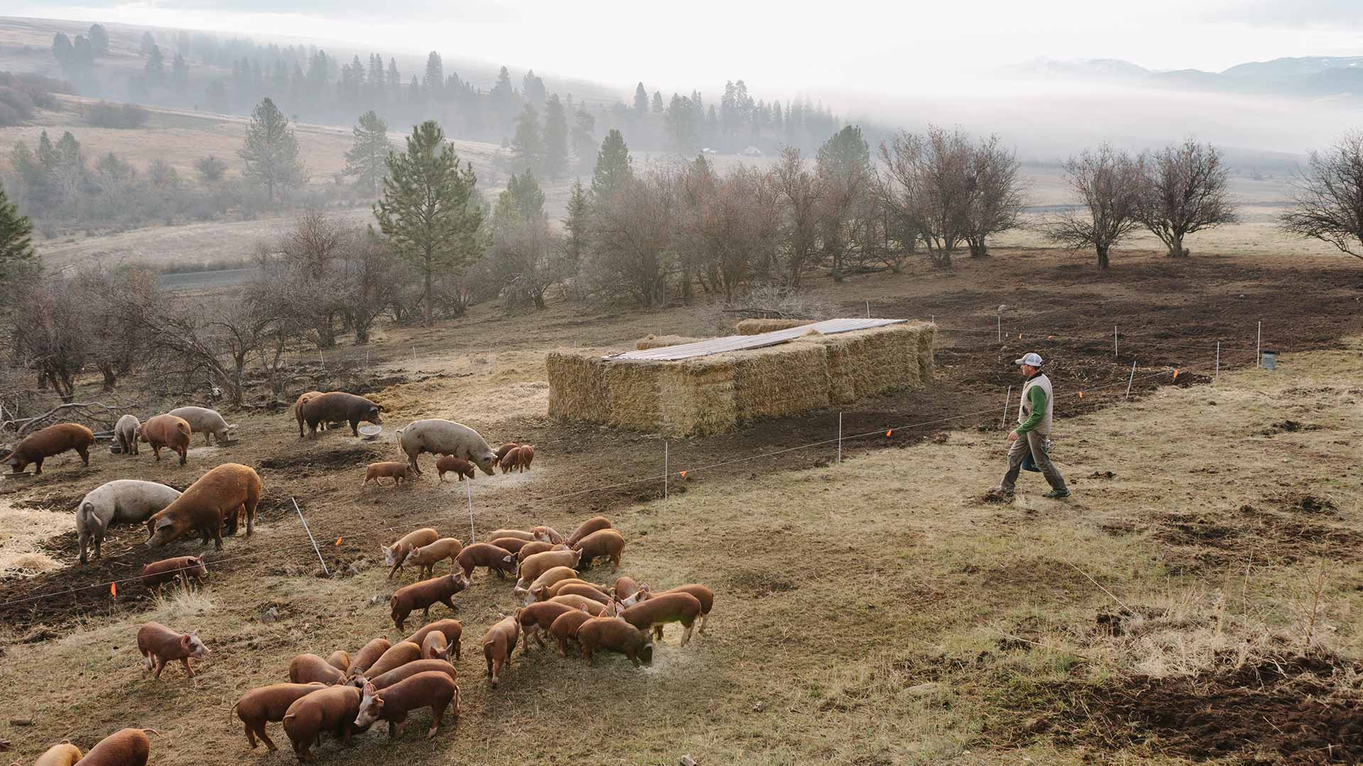 man walks out toward large and small pigs that are eating