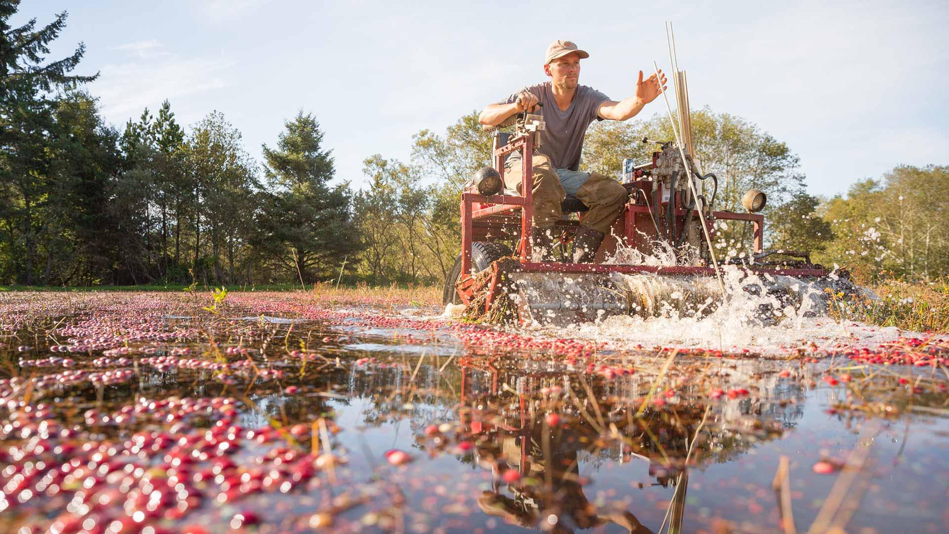 man operates machinery in cranberry bog
